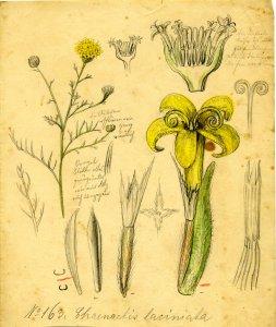 Chaenachis laciniata [art original].