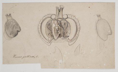 Venus gallina [art original].