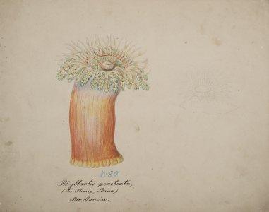 Phyllactis practexta [art original].