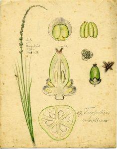 Triglochin marisima [art original].