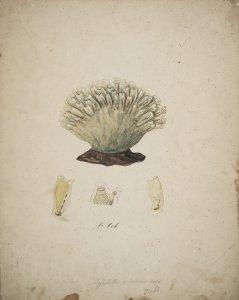 Syntethys hebridicus [art original].