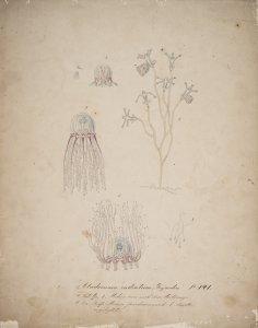 Cladonema radiatum, no. 141 [art original].