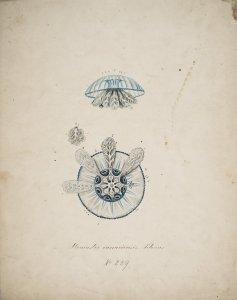 Stomaster canariensis, no. 239 [art original].