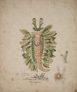Beccaria tricolor [art original].