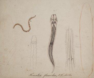 Nemertes flaccida [art original].