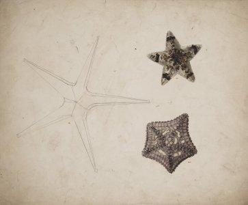 Asteropsis carinifera [art original]: Goniodiscus sebae.