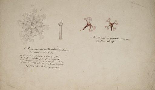 Lucernaria Octoradiata [art original]: Lucernaria Quadricornis.