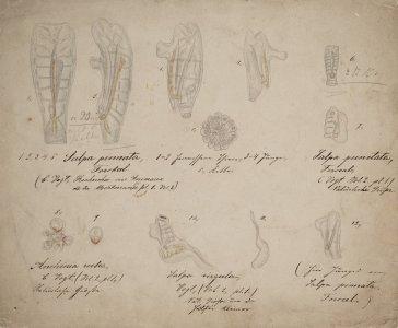 Salpa pinnata [art original]: Salpa punctata: Anchinia rubea: Salpa virgula.