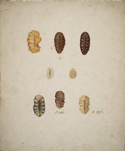 Centrostomum polycyclium [art original]: Polycelis microsora.