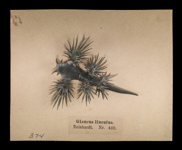 Blaschka Nr. 449