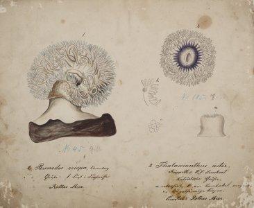 Bunodes crispa [art original]: Thalassianthus aster.