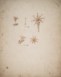Lucernaria campanulata, no. 127 and no. 126 [art original].