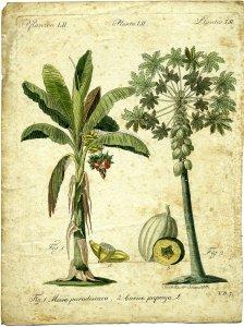 Musa paradisiaca [art original] = Carica papaya, L.