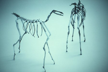 Horse skeletons, white glass [slide].