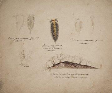 Eolis farinacea [art original]: Eolis papillosa: Eolis salmonacea: Dendronotus arborescens.