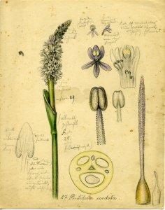 Pontederia cordata [art original].