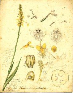 Habenaria ciliaris [art original].