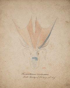 Tremoctopus violaceus [art original].