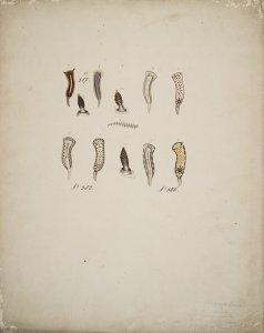 Chromodoris lentiginosa [art original]: Chromodoris rufomaculata: Chromodoris varians.