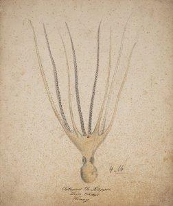 Octopus de filippii [art original].