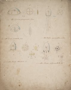 Oceania phosphorica, no. 169 [art original]: Eirene viridula, no. 150: Clytia aeronautica, no. 145: Lizzia blondina, no. 162: Lizzia octopunctata, no. 164