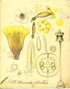 Allamanda cathartica L. Golden Trumpet [art original].