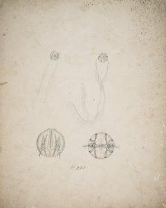 Pleurobrachia rhododactyla, no. 248 [art original].