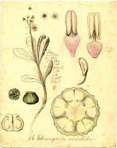 Chimaphila umbellata [art original]