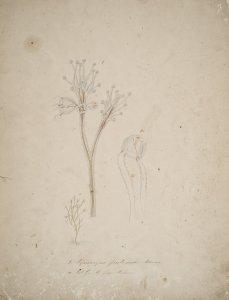 Syncoryne frutescens [art original].