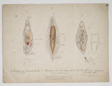 Prostomum Lineare [art original]: Mesostomum Ehrenbergii: Mesostomum Lingua.