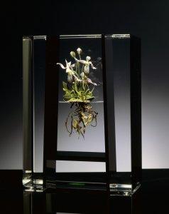 Paphiopedilum orchid terrestrial rite botanical [picture].