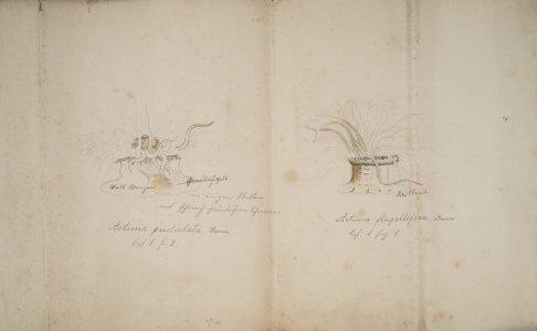 Actinia pustulata [art original]: Actinia flagellifera