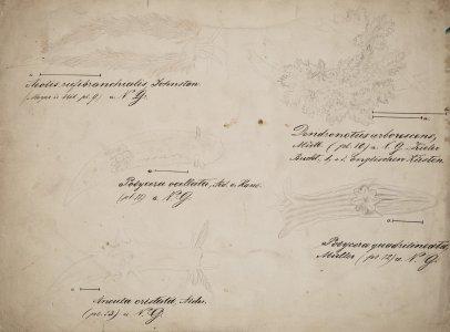 Aeolis rufibranchialis [art original]: Dendronotus arborescens: Polycera ocellata: Polycera quadrilineata: Ancula cristata.