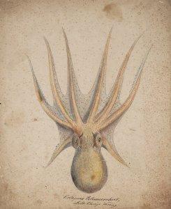 Octopus tetracirrhus [art original].