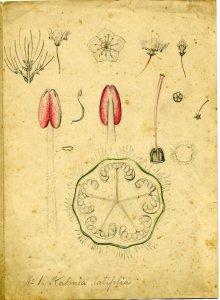Kalmia latifolia [art original] = Kalmia latifolia var.