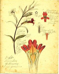 Mimulus glutinosus var. punicens [art original]