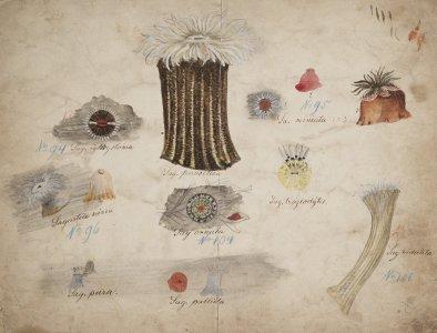 Sag. igttystoma, no. 94 [art original]: Sagartia nivea, no. 96: Sag. pura: Sag. parasitica: Sag. ornata, no. 104: Sag. pallida: Sag. miniata, no. 95: Sag. troglodytes: Sag. viduata, no. 106