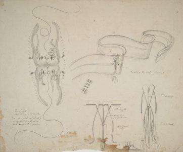Cestus veneris [art original].