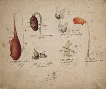 Boltenia rubra [art original]: Boltenia microcosmus: Glandula mollis: Molgula producta: Ascidia ocellata: Boltenia Burkhardti.