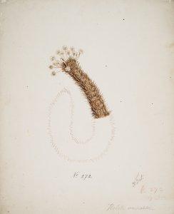 Holothuria immobilis, no. 272 [art original].