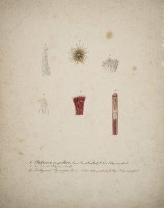 Cladocora cespitosa [art original]: Ein polyp vergrőfsect: Ein arm des polypen vergrőfs: Tubipora syringa: Eine rőhre geoffnet: Ein polyp vergrőfsect