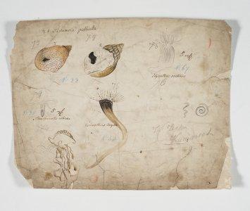 Adamsia Palliata [art original]: Arachnactis albida: Cerianthus Lloydii: Ilyanthus scoticus.