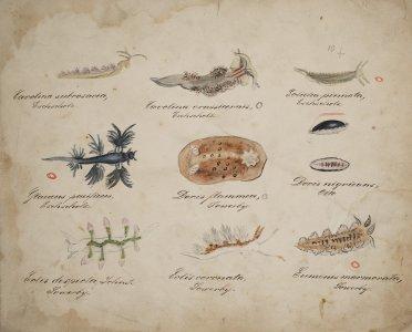 Cavolina subrosacea [art original]: Cavolina Crassicornis: Eolidia pinnata: Glaucus pacificus: Doris Flammea: Doris nigricans: Eolis despecta: Eolis coronata: Eumenis marmorata.