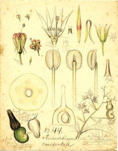 Anacardium occidentale [art original]