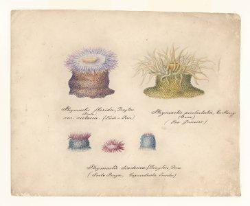 Phymactis florida [art original]: Phymactis diadema: Phymactis pustulata