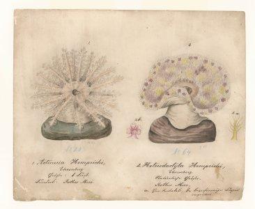 Actineria hemprichi, no. 20 [art original]: Heterodactyla hemprichi, no. 64