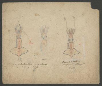 Onychoteuthis krohnii [art original]: Enoploteuthis