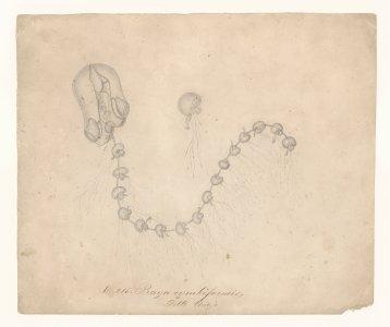 No. 215 [art original]: Praya cymbiformis: delle chiaje.
