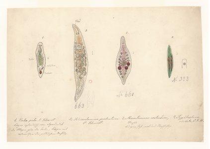 Vortex picta [art original]: Schizostomum productum, no. 663: Mesostomum rostratum, no. 661: Typhloplana, no. 393