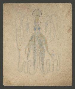 [Loligopsis varanii Fer.] [art original]: [no. 564]